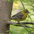 Female. Note: white wing bars and greenish body.