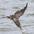 Brown Pelican diving for fish.