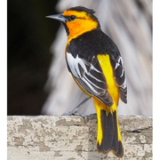 Male. Note: black throat and eyeline and white wing coverts.