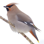 Adult. Note: gray body, yellow tail tip, and rufous undertail coverts.