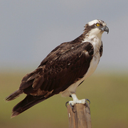Adult Osprey